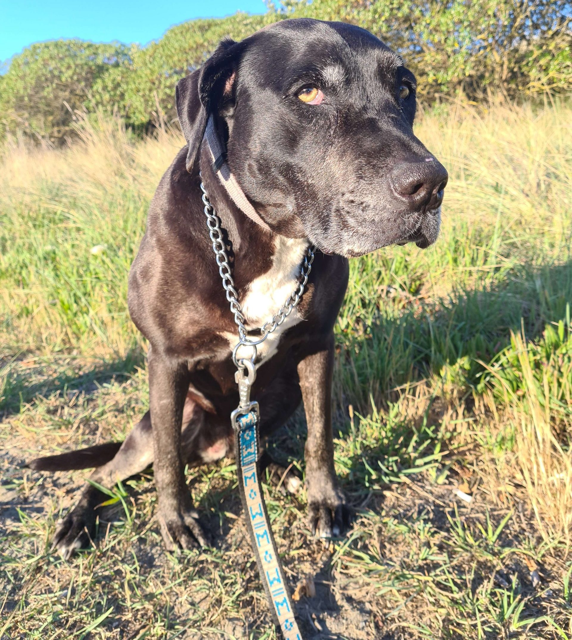 black dog with leading sitting on grass
