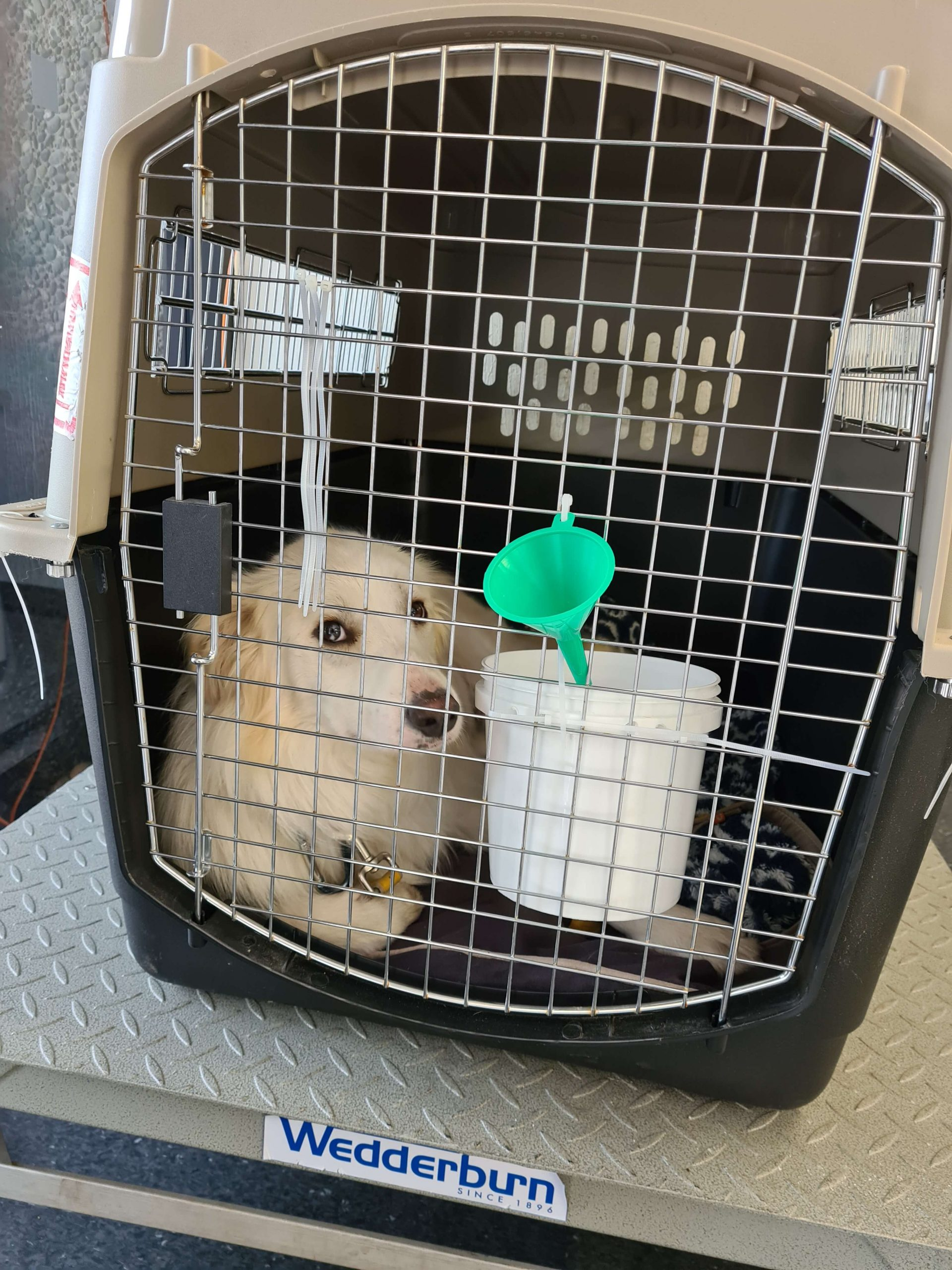 white collie dog in crate