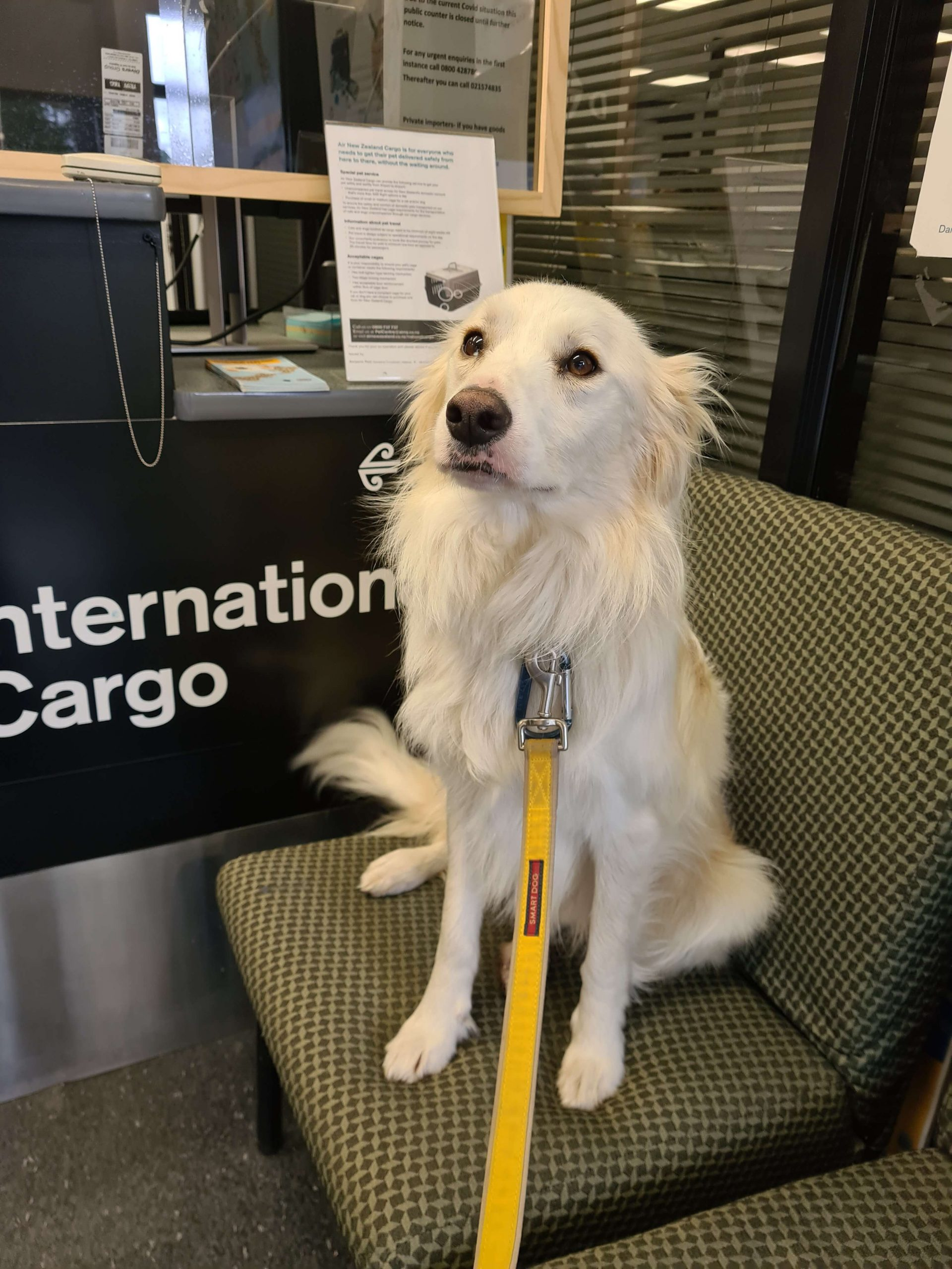 white collie dog on airport chair with yellow lead