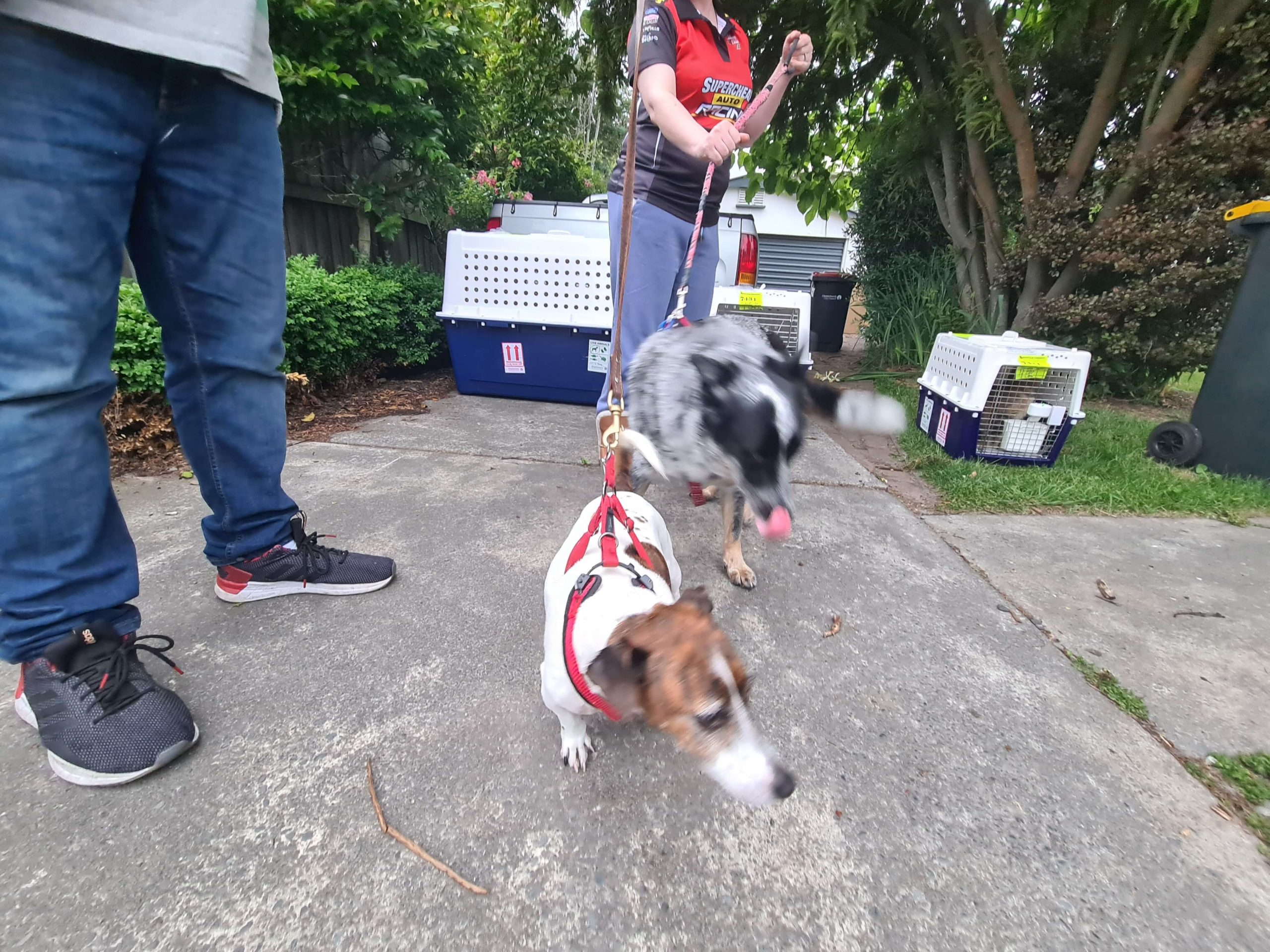 two dogs with leads going for a walk