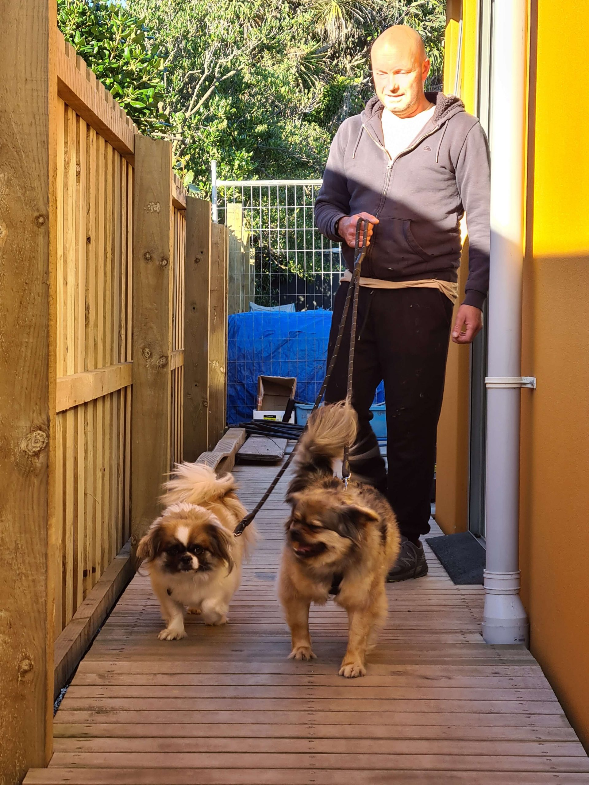 two small dogs on a leash with a male walking them