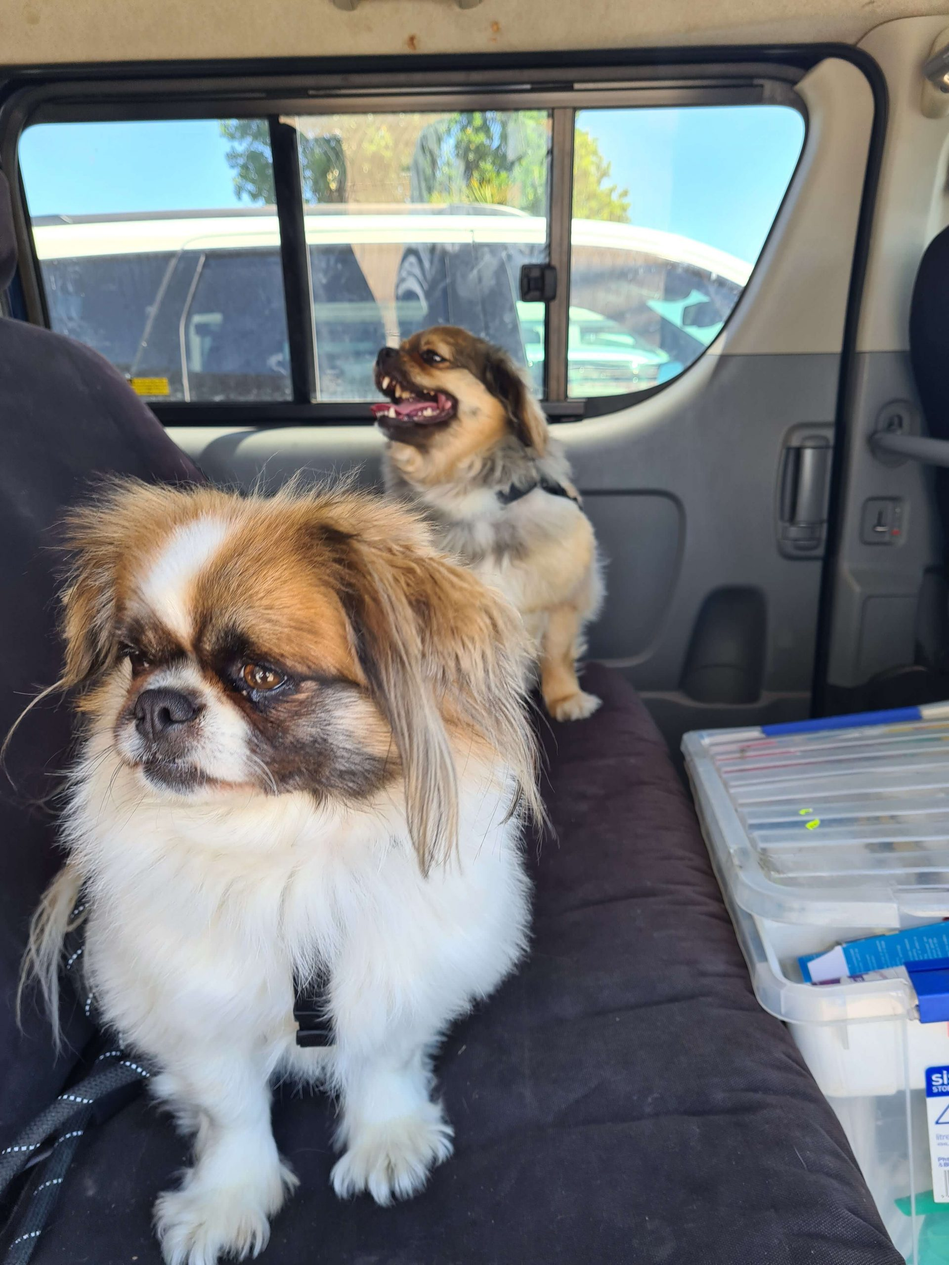 two small dogs in back seat of car