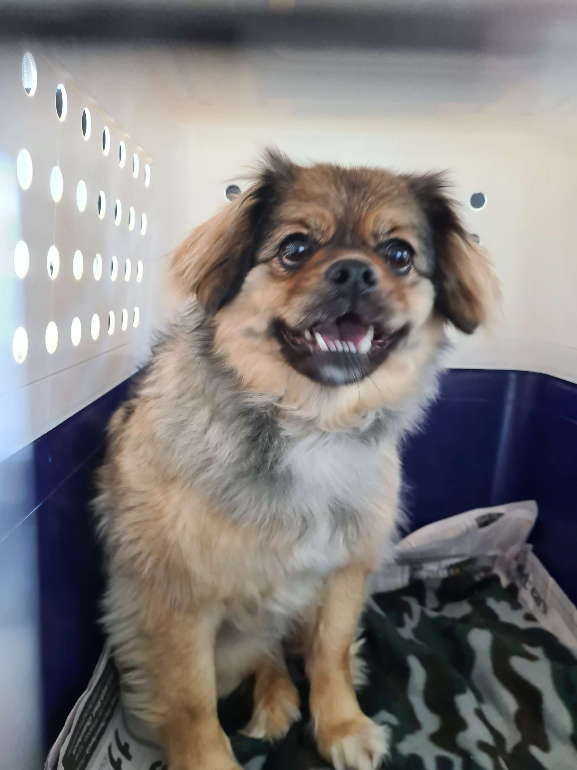 small brown dog in crate