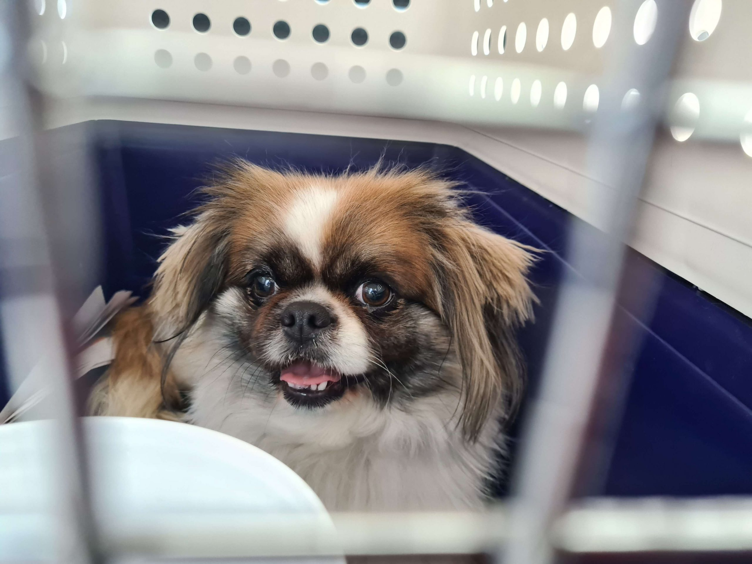 small brown and white dog in crate